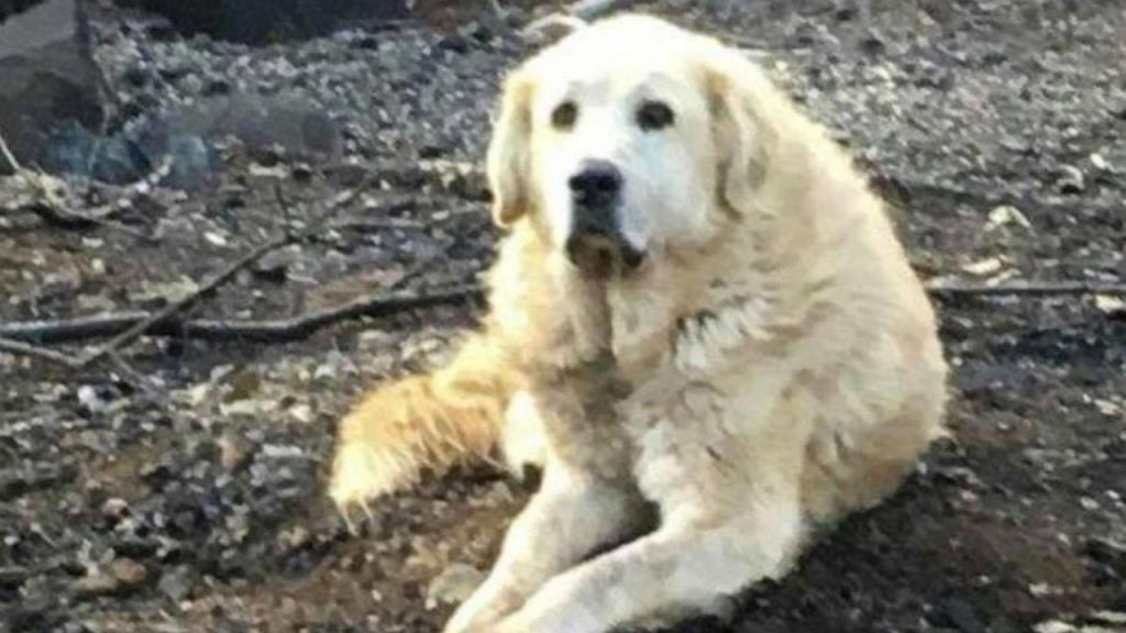 Cão guardou casa queimada durante um mês