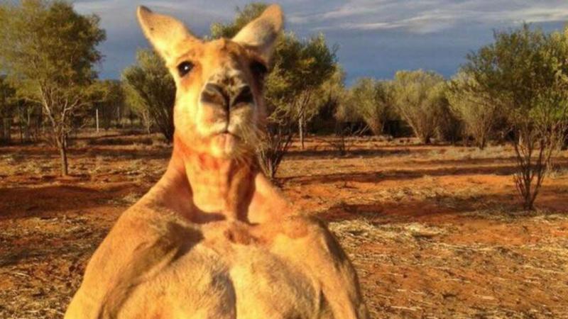 Roger, canguru australiano