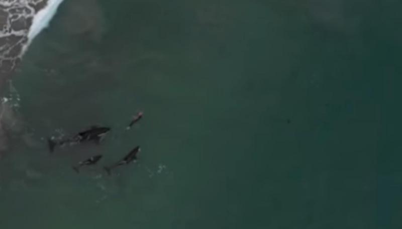 Nadadora cercada por orcas