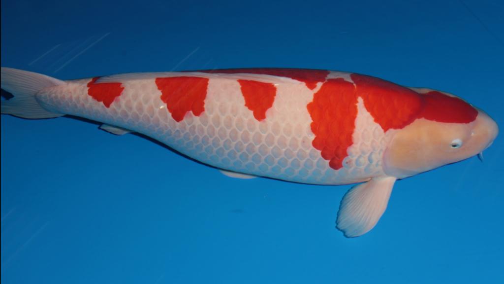 Koi: o peixe mais caro do mundo que foi vendido por mais de um milhão de euros