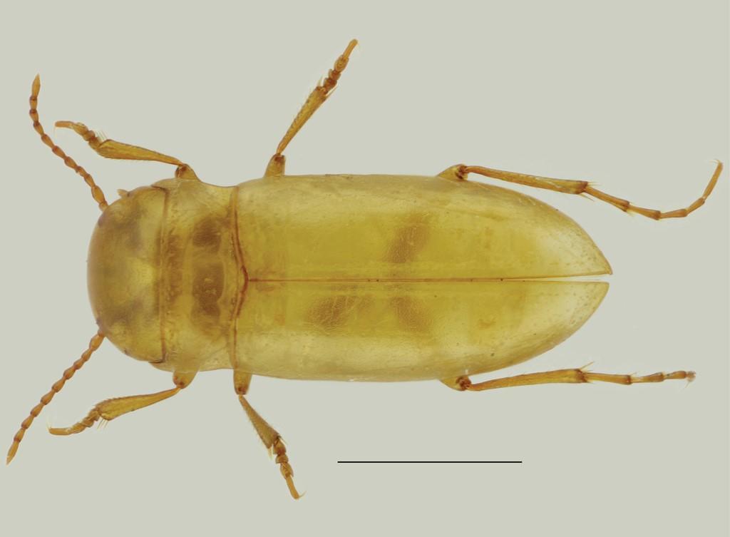Escaravelho 'Iberoporus pluto'