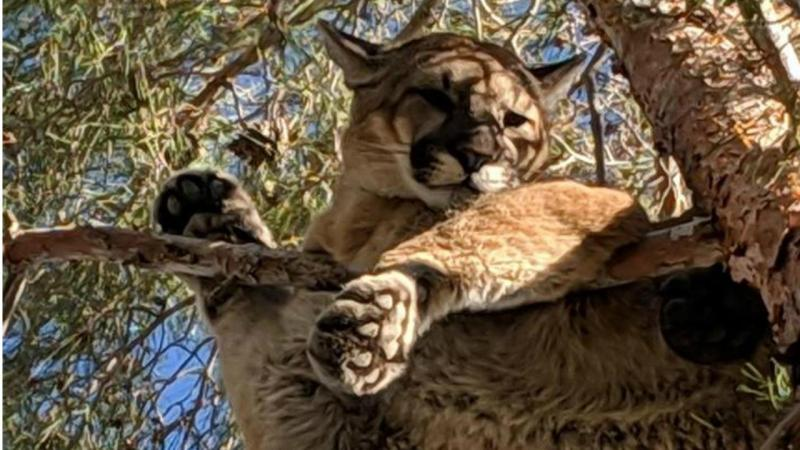 Leão preso em árvore