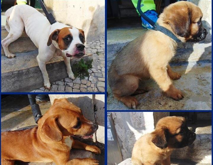 Cães e cachorros resgatados pela PSP de Lisboa