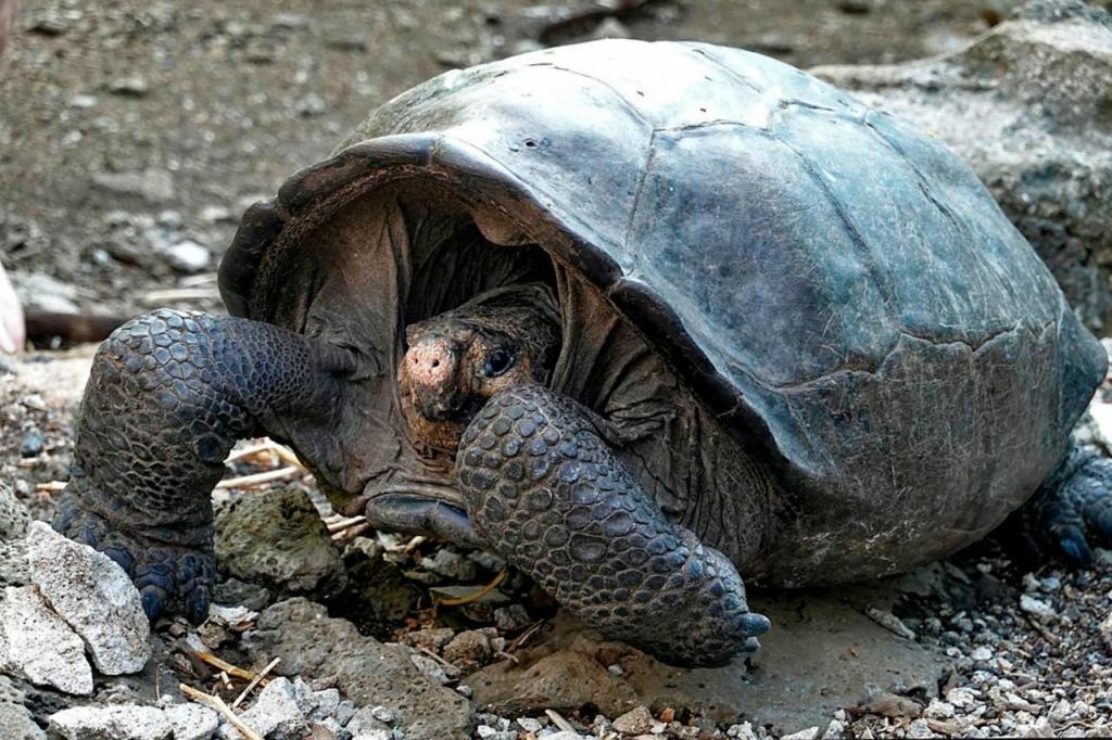 Tartaruga gigante das ilhas de Galápagos