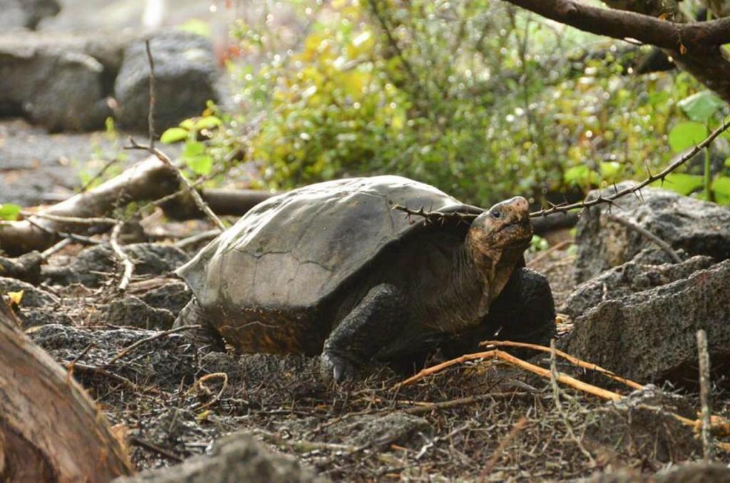 A tartaurga gigante Fernandina capturada pelas equipas de conservação