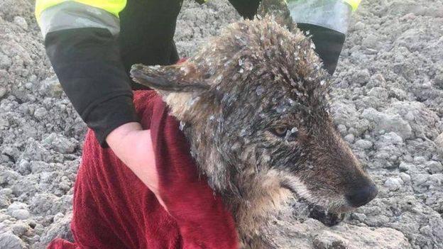 O lobo no momento do resgate