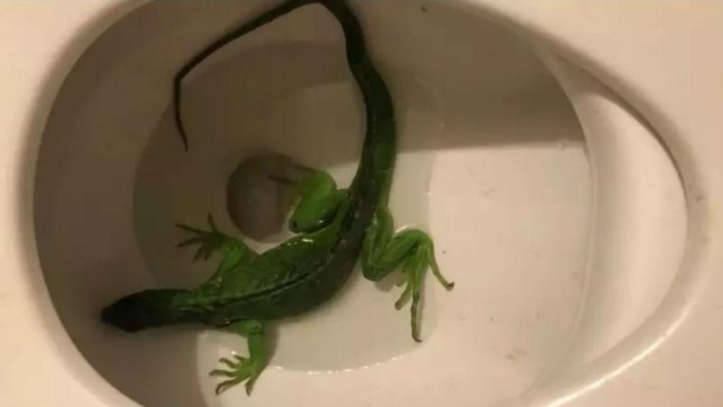 Iguana na sanita