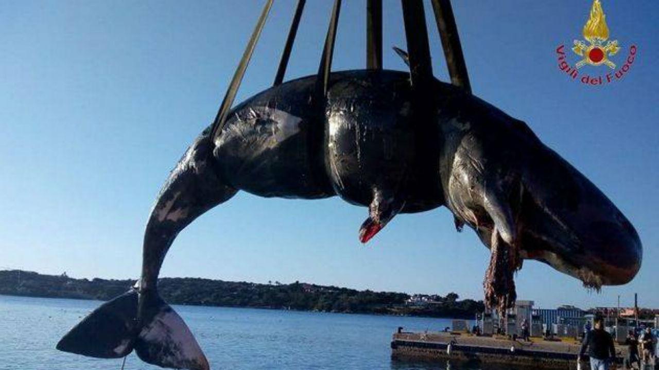 Baleia grávida encontrada morta com 22 quilos de plástico no estômago