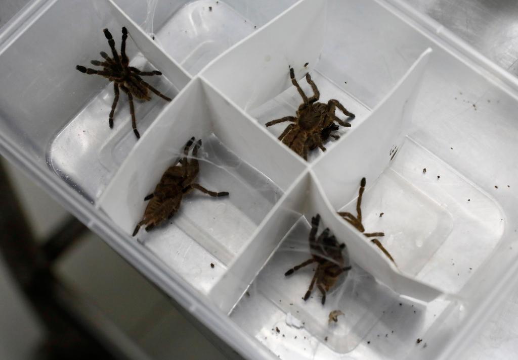Centenas de tarântulas vivas foram interceptadas no aeroporto internacional de Manila, nas Filipinas. Vinham da Polónia, transportadas em caixas de bolachas.