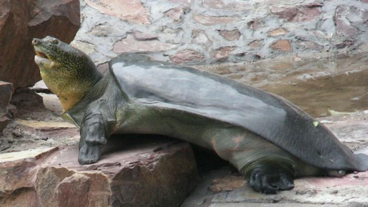Tartaruga gigante de carapaça mole do Yangtze
