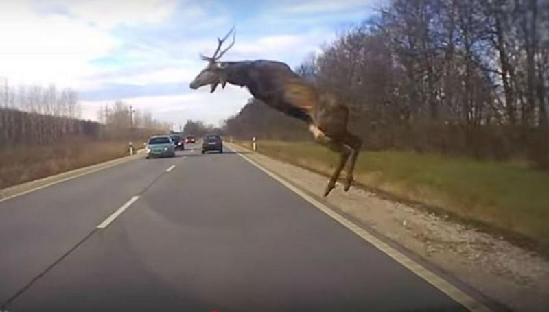 Caça grossa surpreende automobilistas