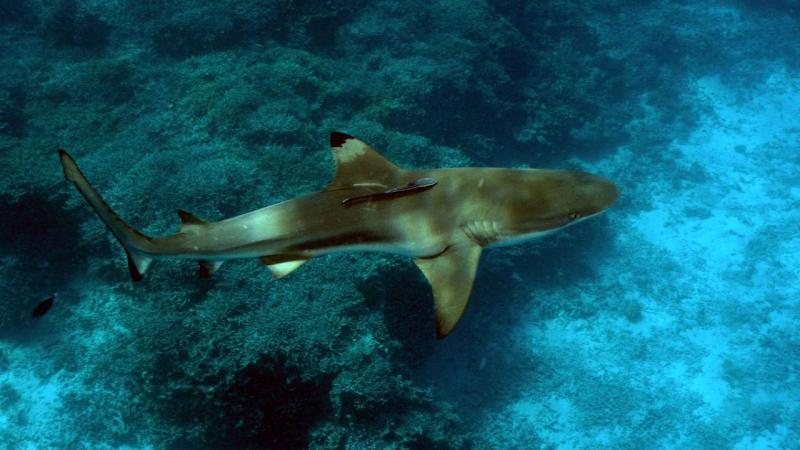 Tubarão-de-pontas-negras-de-recife