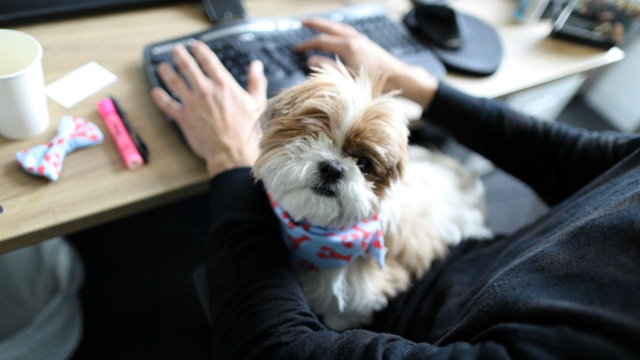 Cão da raça Shih Tzu