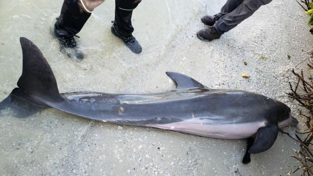 Plástico no estômago mata golfinho