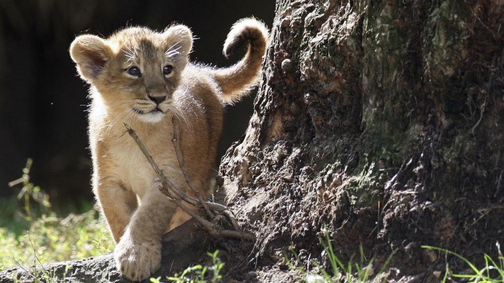 Crias de leão