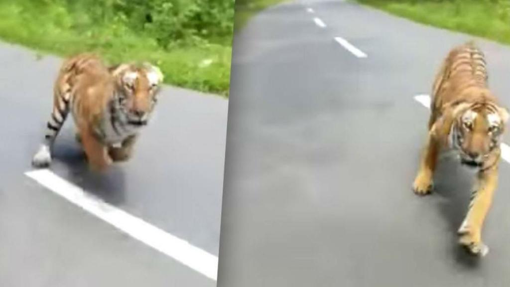 Tigre persegue motociclistas na Índia