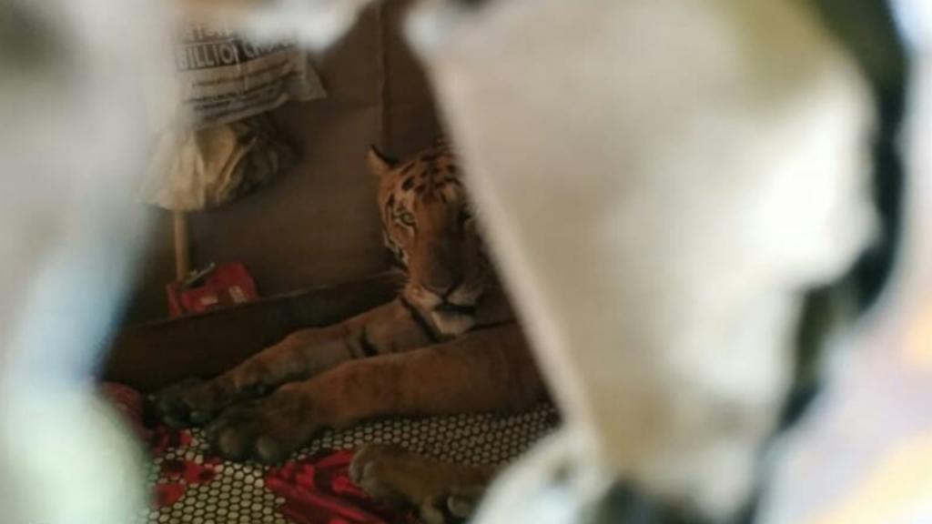 Tigre encontrou refúgio numa casa