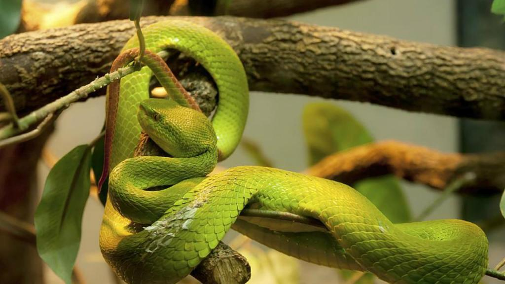 Cobra Verde de Jardim