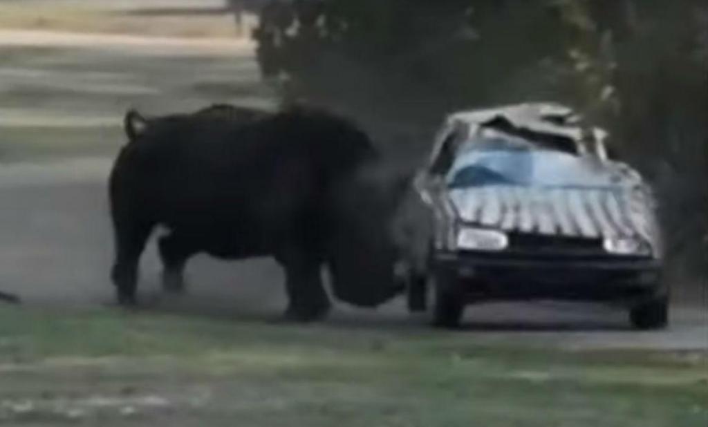 Rinoceronte ataca carro da tratadora (reprodução YouTube)