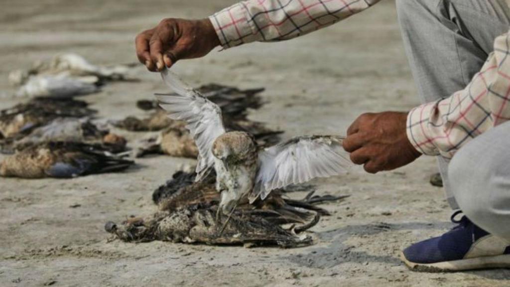 Mais de 2.000 pássaros apareceram mortos junto a um lago da Índia