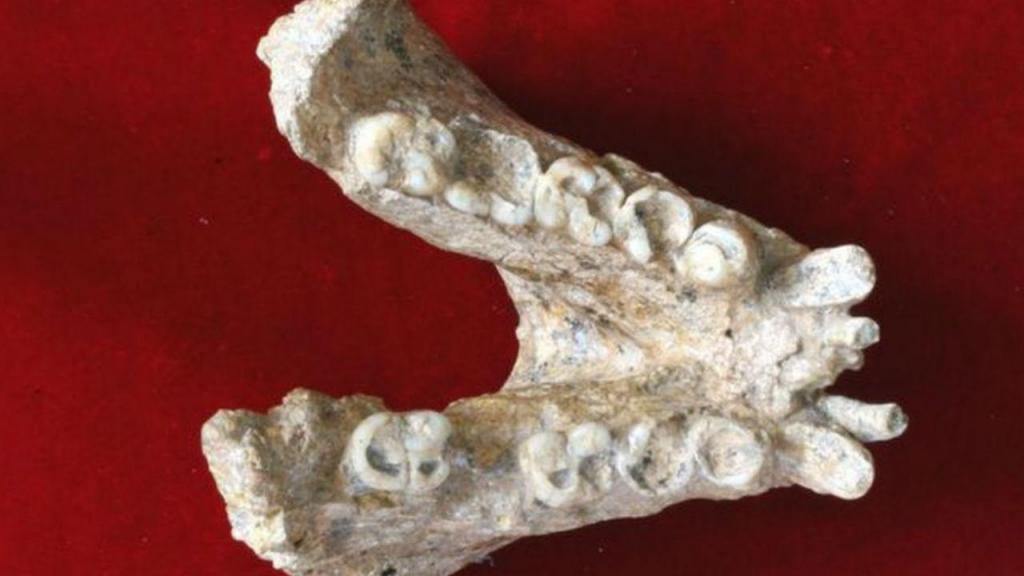 Parte da mandíbula do macaco gigante que permitiu desvendar segredos sobre a espécie