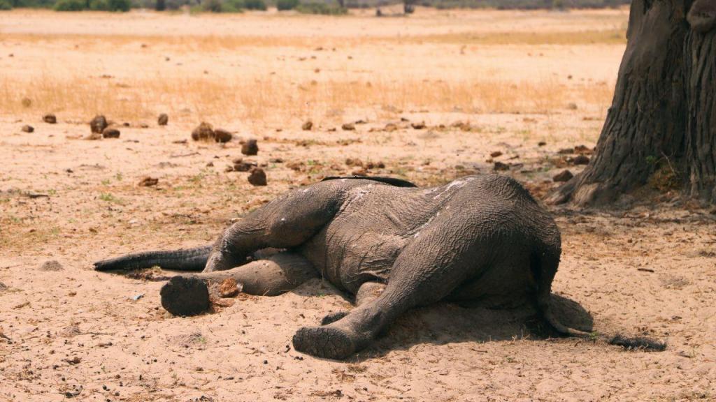 Elefantes estão a morrer em África devido à seca