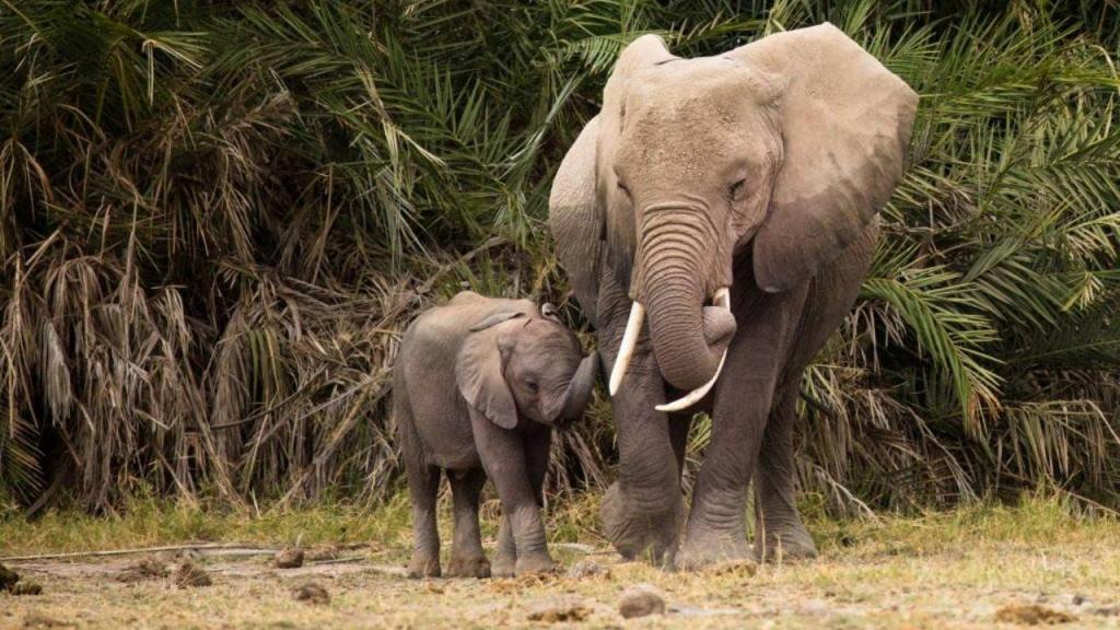 Várias organizações lutam contra o comércio ilegal dos elefantes