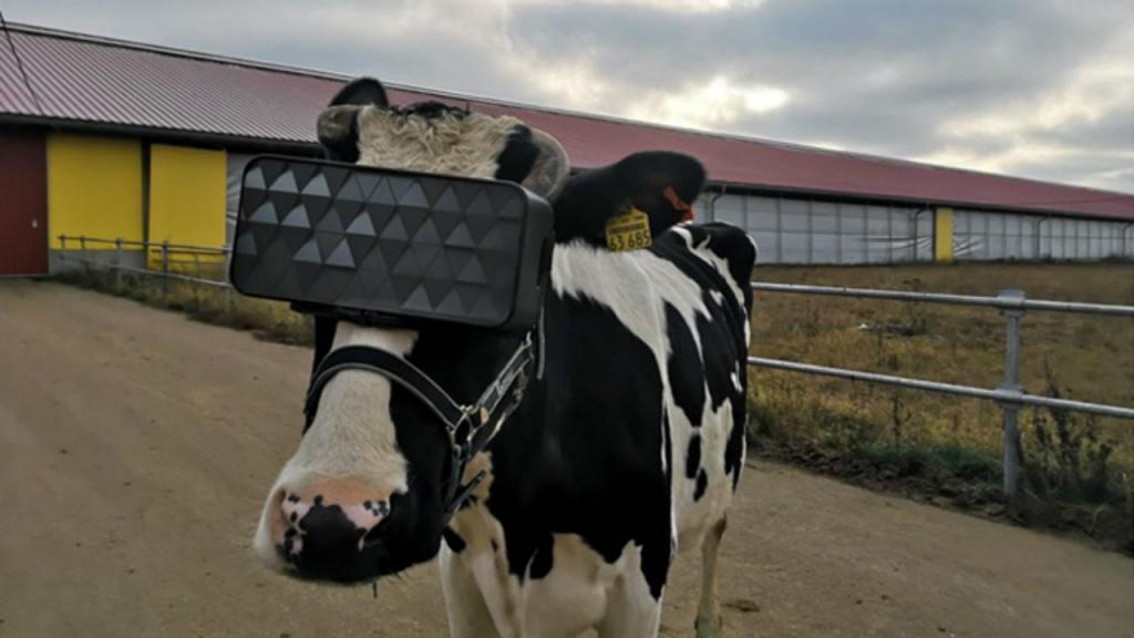 Vacas usam óculos de realidade virtual na Rússia