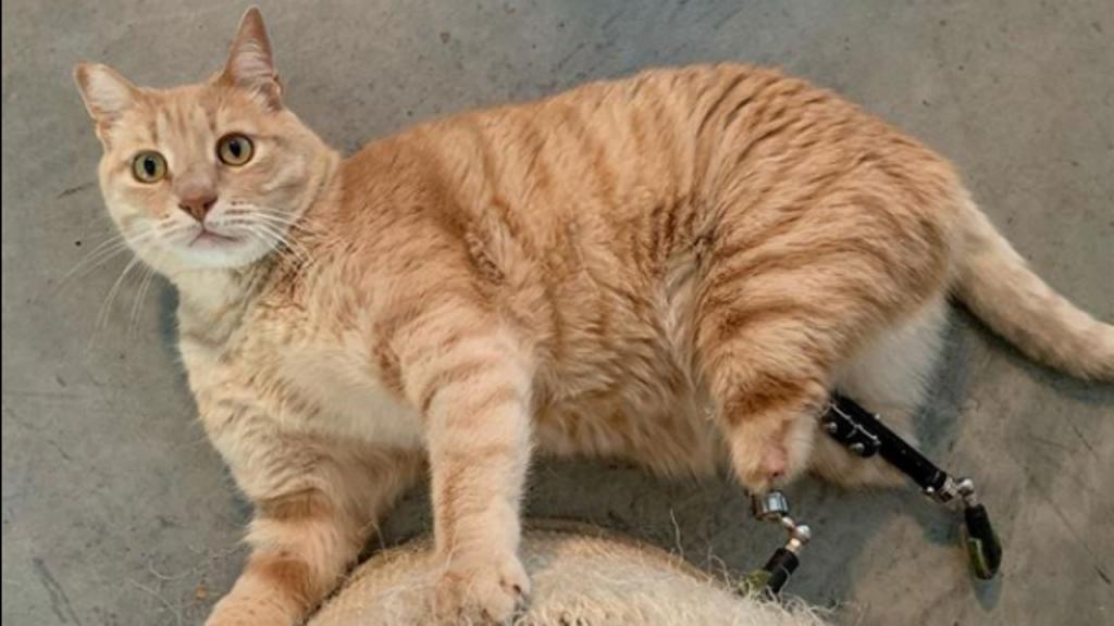 Vituzzo, o gato sensação