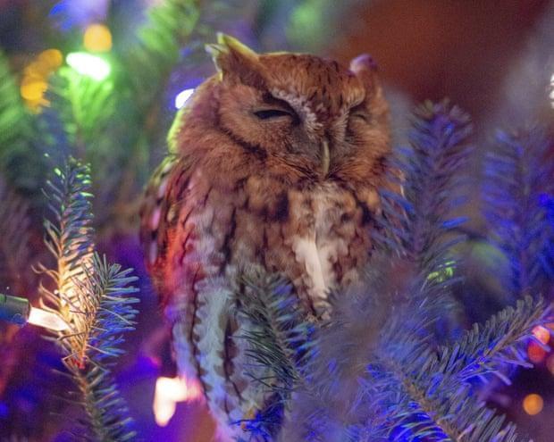Família descobre coruja a viver na árvore de Natal