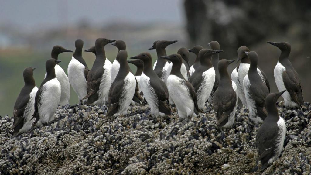 Cerca de um milhão de aves marinhas morreu devido a uma bolha de água quente no Pacífico