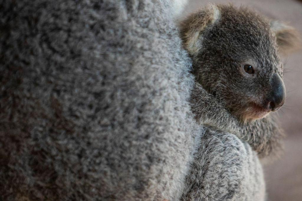 Coala nasceu há sete meses no Jardim Zoológico