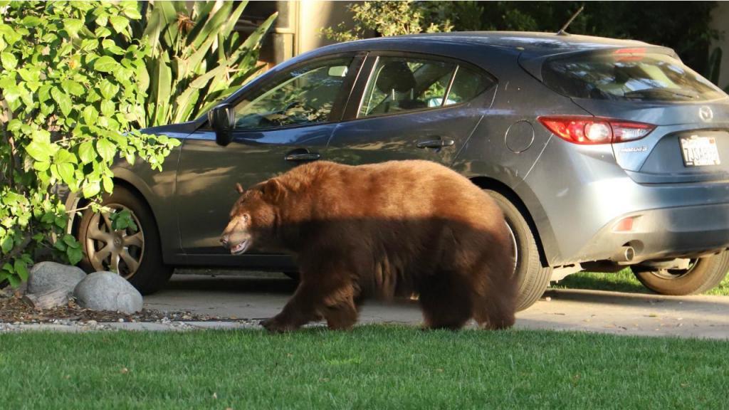 Ursa de 181 quilos passeia pelas casas e escolas de um bairro na Califórnia