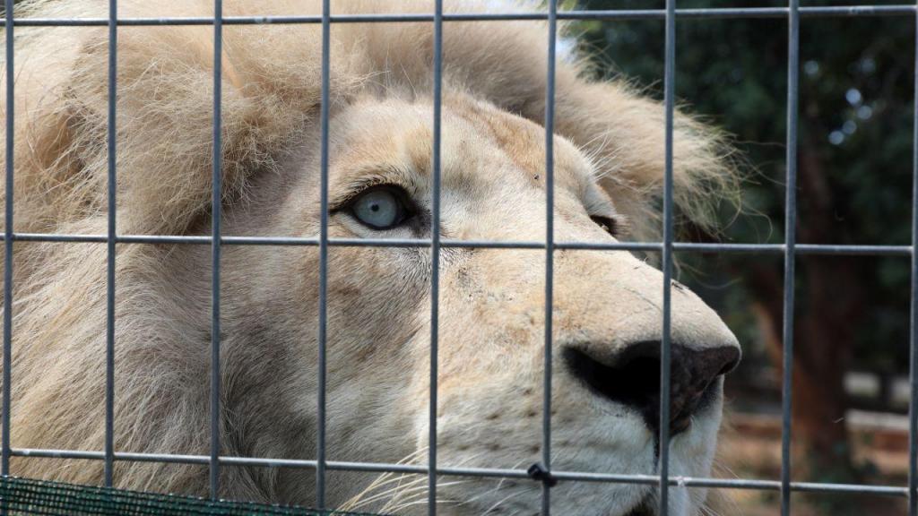 Zoo de Chipre: nasceram duas crias brancas de leões
