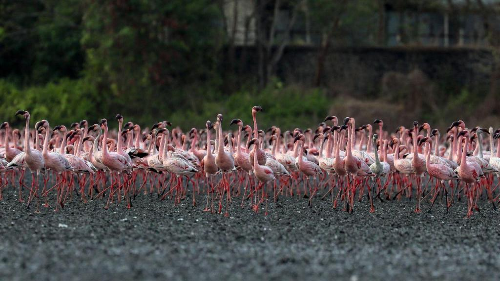 Um mar de flamingos