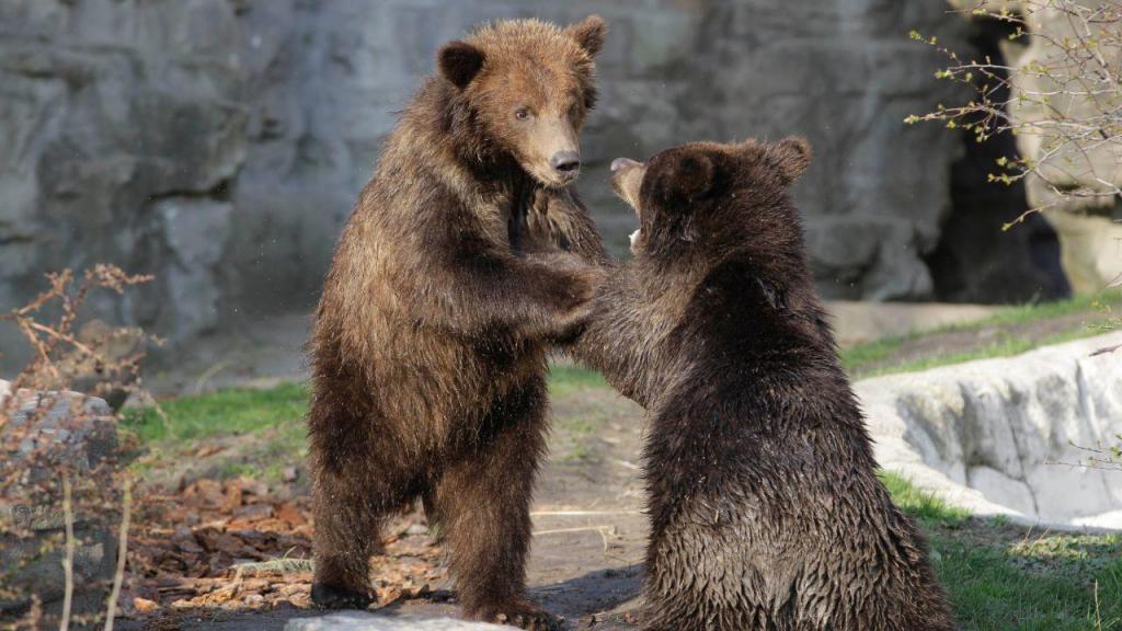 Crias de urso brinacam no Alasca
