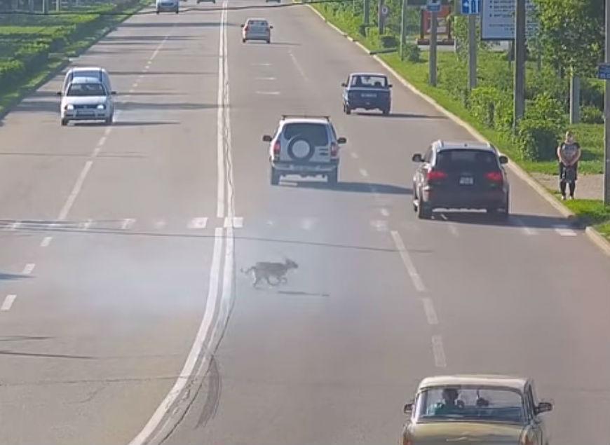 Cão atravessa estrada (rerodução «dnepronet»)