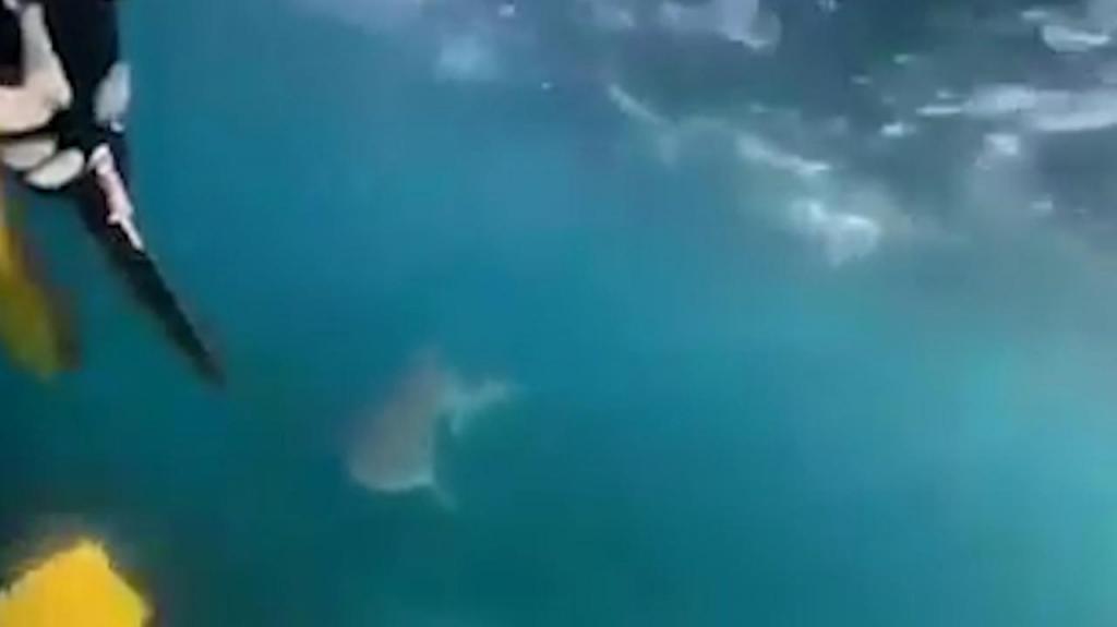Tubarão em Bulli Point, na Austrália