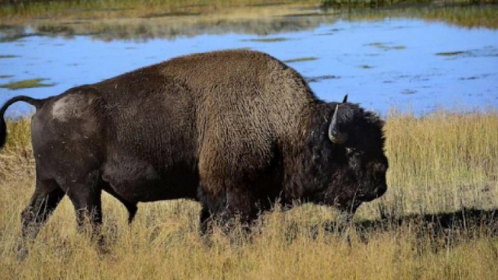 Mulher atacada por bisonte após insistir em fotografia