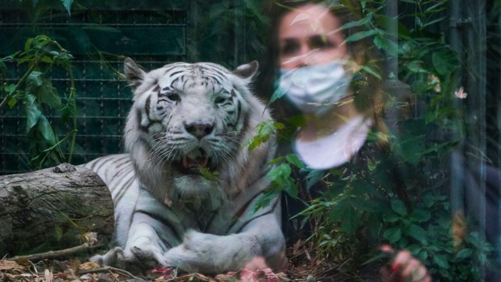 Tigre da Sibéria mata a sua tratadora no zoológico de Zurique