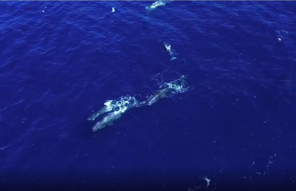 Grupo de cachalotes filmados com drone nos Açores