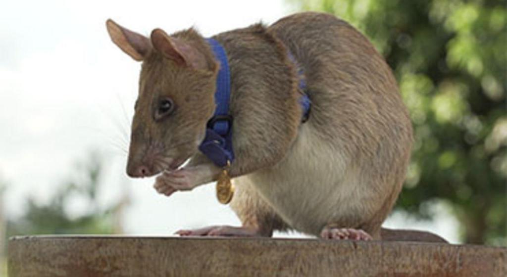Rato Magawa