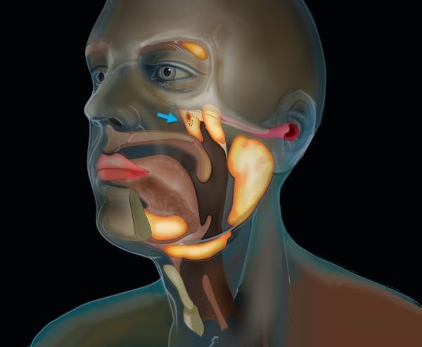 Descoberta uma nova localização de glândulas salivares