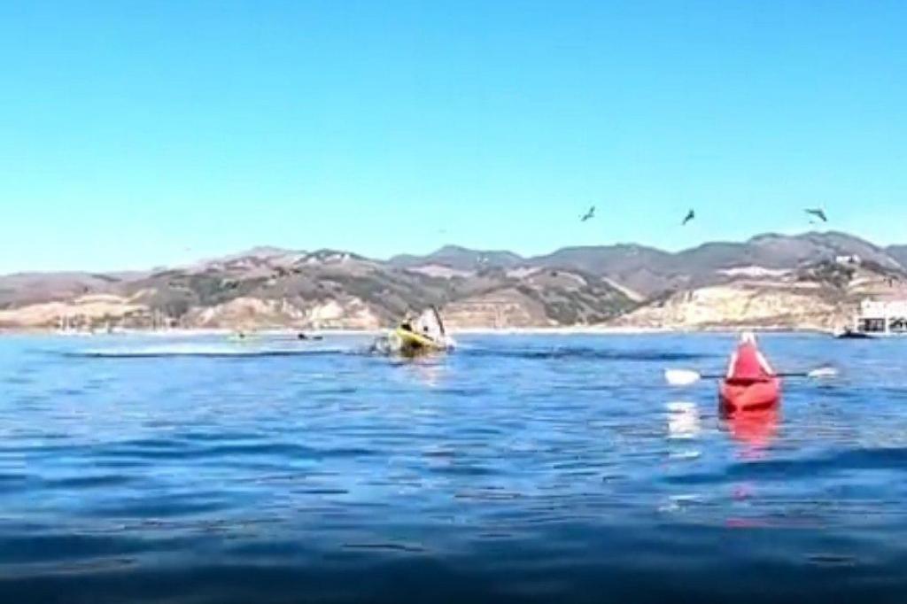 Baleia emerge e quase engole caiaque