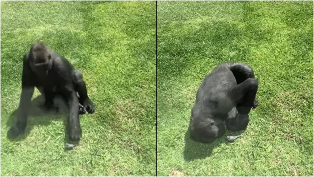 Gorila tenta ajudar pássaro ferido