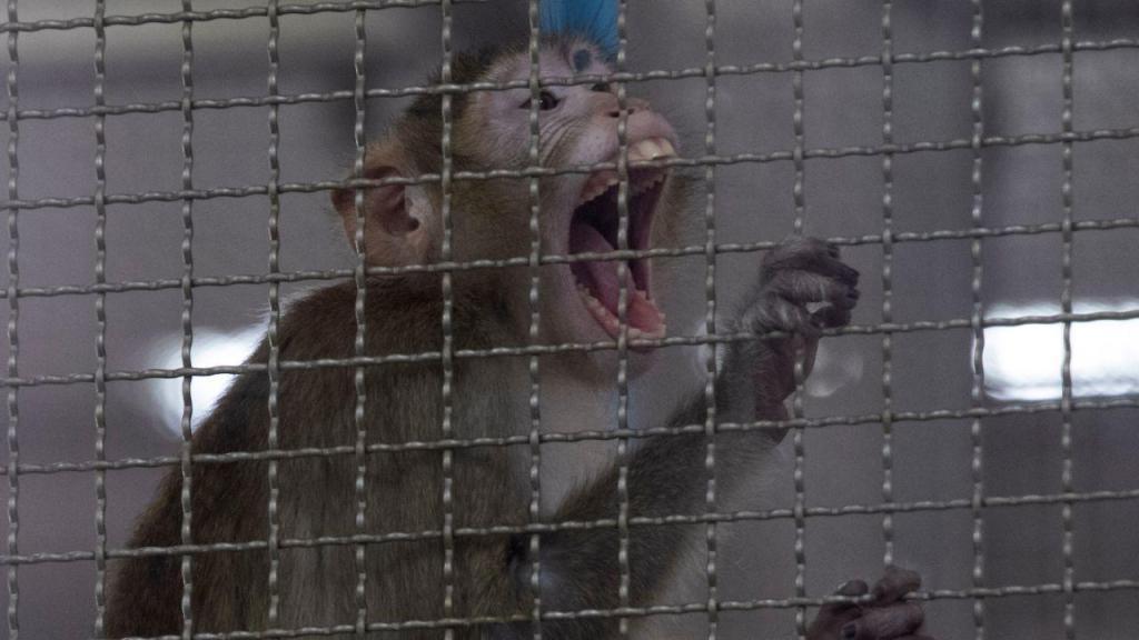 Macaco enjaulado