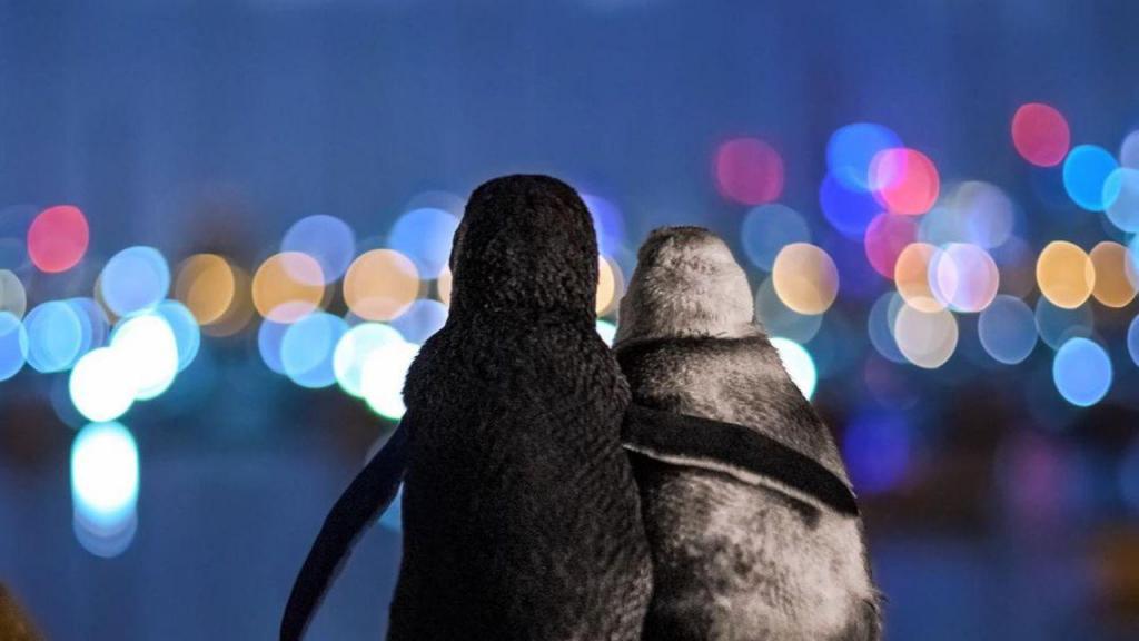 Pinguins abraçam-se em fotografia galardoada