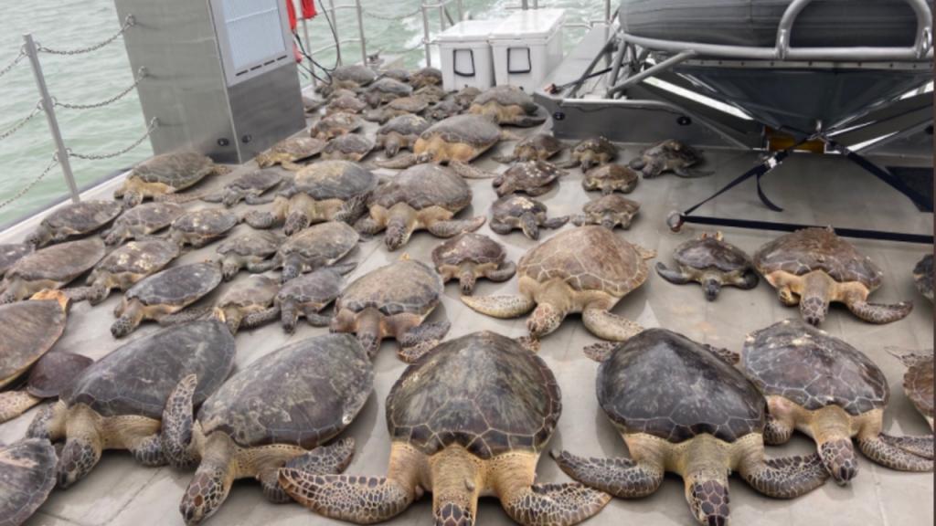 Tartarugas resgatadas das águas geladas no Texas