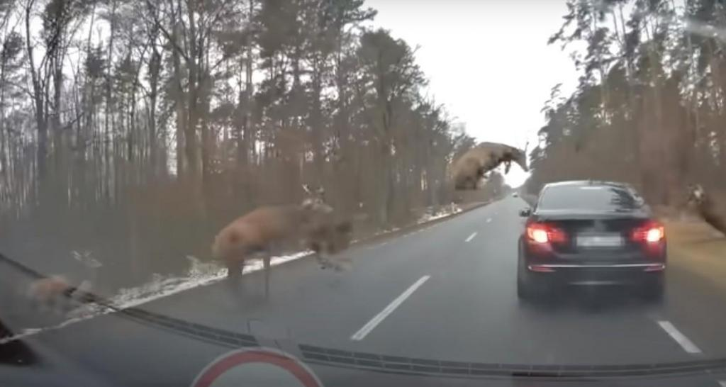Veados invadem estrada na Polónia (reprodução YouTube «Stop Cham»)