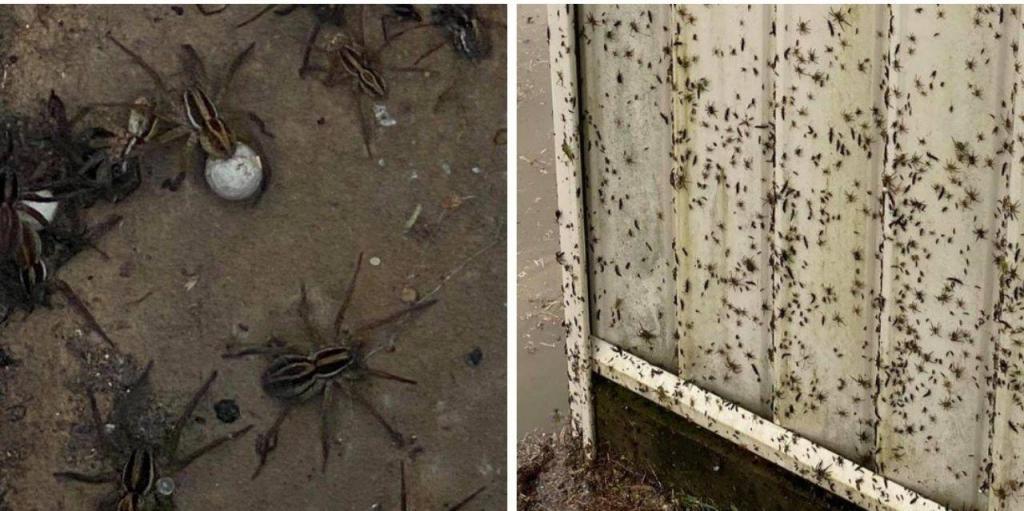 Praga de aranhas em Sydney
